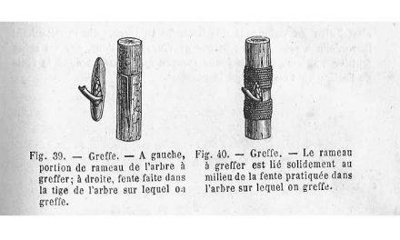 Maurice Chaudière : La greffe sauvage