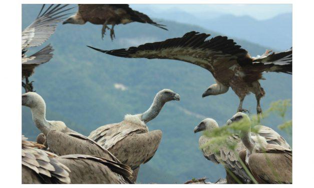 Au Rythme du Parc : Les opérations de valorisation des vautours