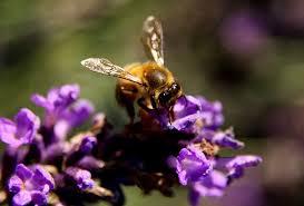 Culture de la lavande et sauvegarde des abeilles !