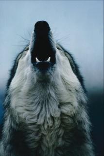 Le loup, le retour…