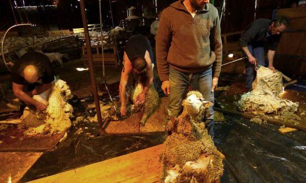 La tonte des moutons, chez Fanny et Thibault à Menglon