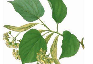 L'Herbier du Diois cherche Tilleuls et cueilleurs