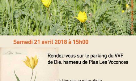 A la rencontre des tulipes sauvages du Diois