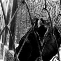 Solitudinaire Chapitre 4 La sombre aile du corbeau qui dansait au dessus des comptoirs.
