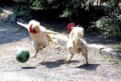 A LA RECHERCHE DU GROOVE PERDU (216) les zozios sont nos amis 1/2 Like a chicken in the wind