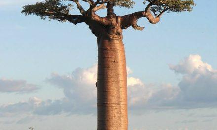 Dans l'oreille d'un Ours baobab