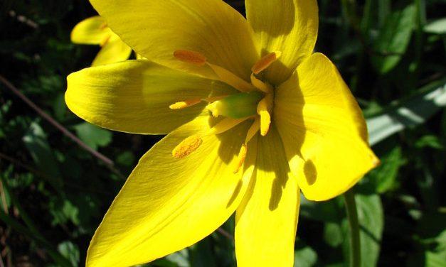 La tulipe sauvage et le collectif pour le triangle de Gonesse