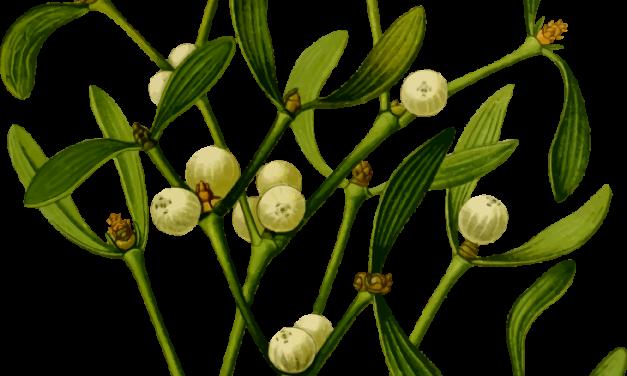 Plantule et Cie : Le Gui