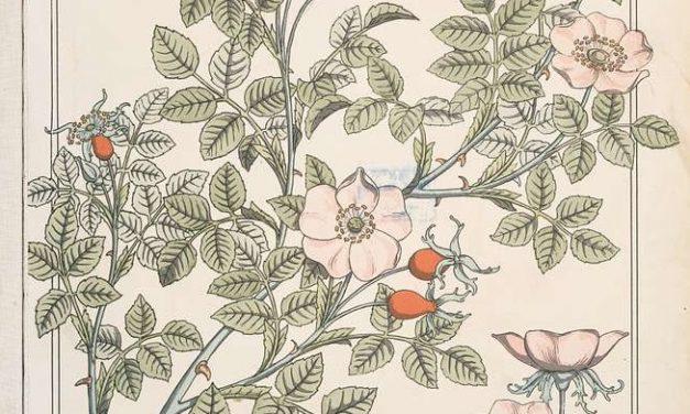 Plantule et Cie : L'Eglantier