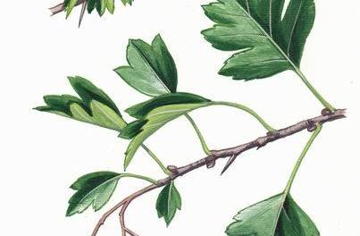 Plantule et Cie : L'Aubépine