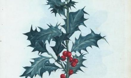 Plantule et Cie : Le Houx