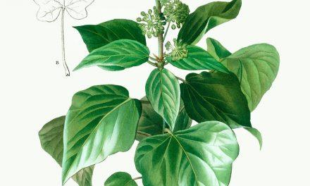 Plantule et Cie : Le Lierre Grimpant