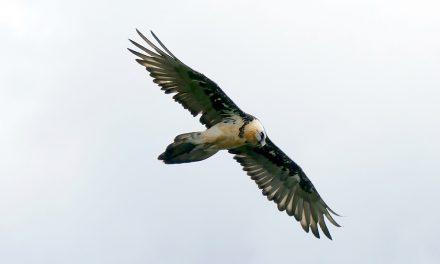 Tétra-lyre, vautours et LPO
